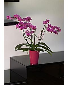 Orhideepott Clivo, tumeroosa / 12,5cm